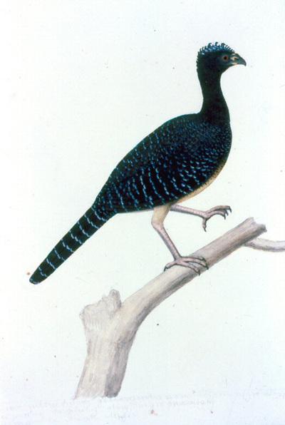 Crax fasciolata pinima Pelzeln, 1869