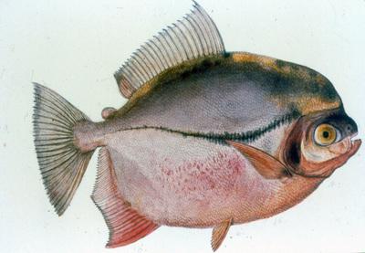 Myloplus rubripinnis (Müller & Troschel, 1844)