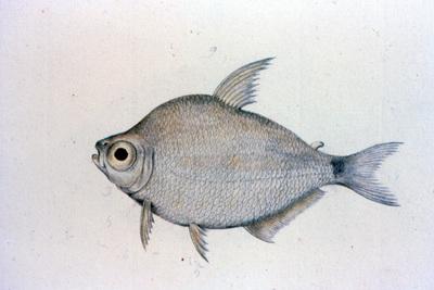 Tetragonopterus chalceus Spix & Agassiz, 1829