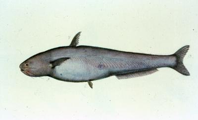Cetopsis candiru (Spix & Agassiz, 1829)
