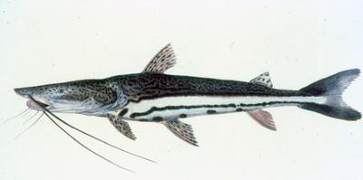 Sorubimichthys planiceps (Spix & Agassiz, 1829)