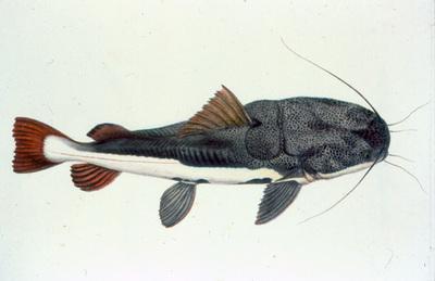 Phractocephalus hemioliopterus (Bloch & Schneider, 1801)