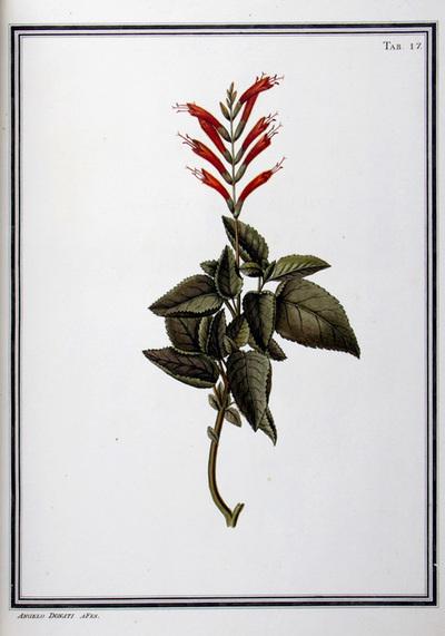 Ilustração cientifica da espécie Salvia coccinea, da publicação  Specimen Florae Americae Meridionalis.