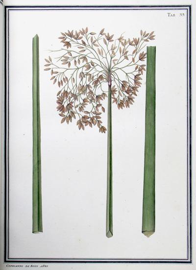Ilustração cientifica da espécie Cyperus sp., da publicação  Specimen Florae Americae Meridionalis.