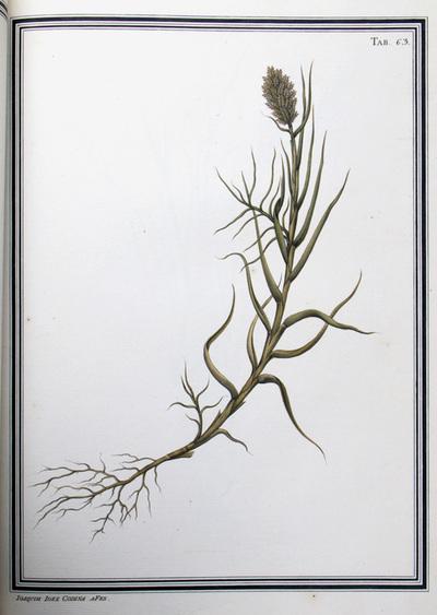 Ilustração cientifica da espécie Uniola sp., da publicação  Specimen Florae Americae Meridionalis.