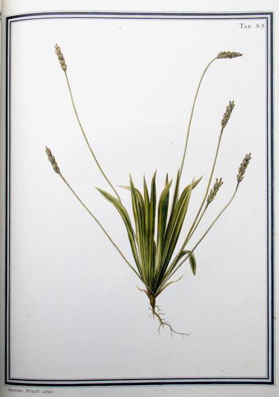 Ilustração cientifica da espécie Plantago  albicans, da publicação  Specimen Florae Americae Meridionalis.