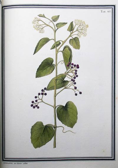Ilustração cientifica da espécie Cissus cordifolia, da publicação  Specimen Florae Americae Meridionalis.