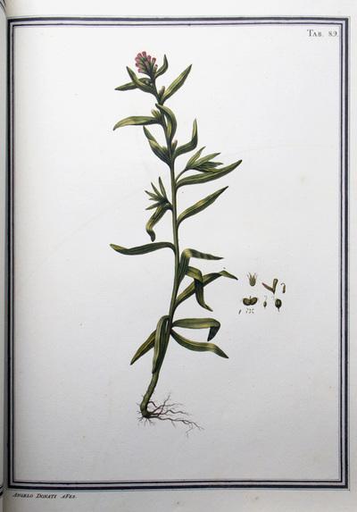 Ilustração cientifica da espécie Guiriora rivularis, da publicação  Specimen Florae Americae Meridionalis.