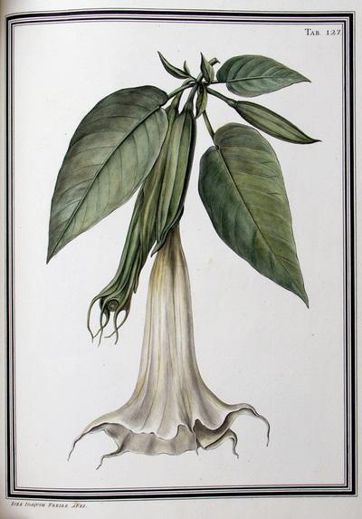 Ilustração cientifica da espécie Datura arborea, da publicação  Specimen Florae Americae Meridionalis.