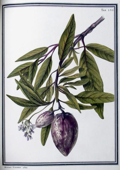 Ilustração cientifica da espécie Solanum pepino, da publicação  Specimen Florae Americae Meridionalis.