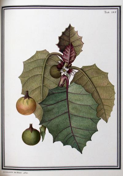 Ilustração cientifica da espécie Solanum macrocarpum, da publicação  Specimen Florae Americae Meridionalis.