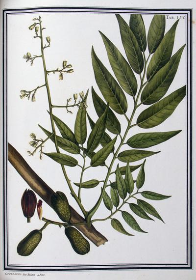 Ilustração cientifica da espécie Cedrela odorata, da publicação  Specimen Florae Americae Meridionalis.