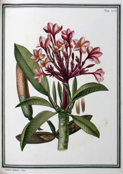 Ilustração cientifica da espécie Plumeria purpurea, da publicação  Specimen Florae Americae Meridionalis.