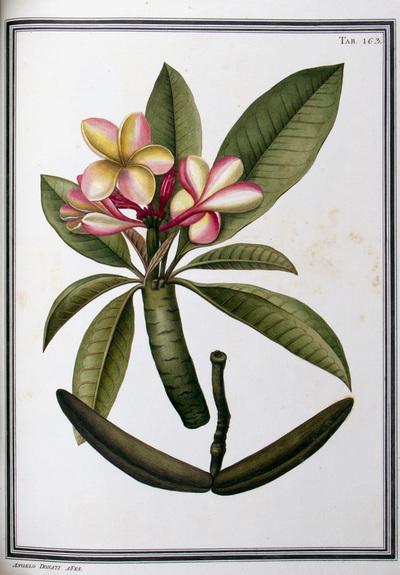 Ilustração cientifica da espécie Plumeria amaera, da publicação  Specimen Florae Americae Meridionalis.