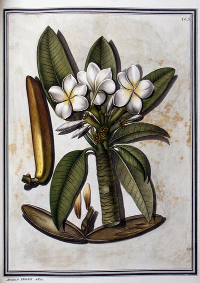 Ilustração cientifica da espécie Plumeria alba, da publicação  Specimen Florae Americae Meridionalis.