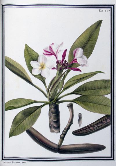 Ilustração cientifica da espécie Plumeria rosea, da publicação  Specimen Florae Americae Meridionalis.