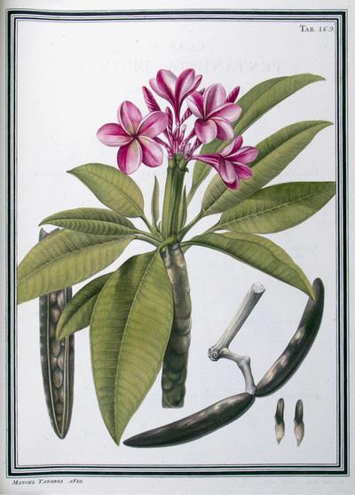 Ilustração cientifica da espécie Plumeria rubra, da publicação  Specimen Florae Americae Meridionalis.