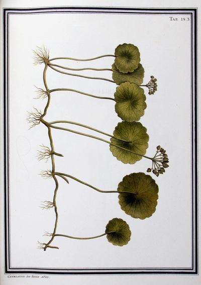 Ilustração cientifica da espécie Hydrocotyle umbellata, da publicação  Specimen Florae Americae Meridionalis.