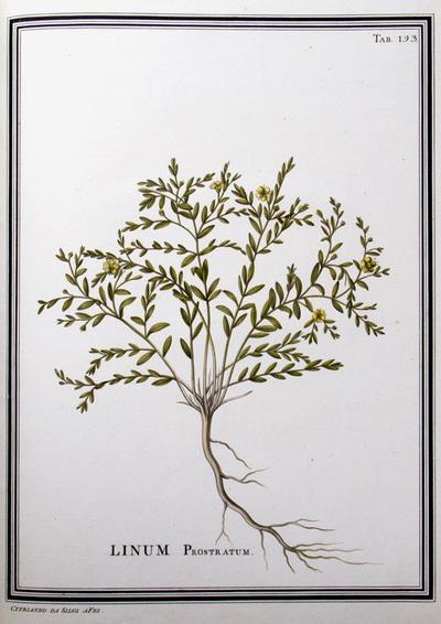 Ilustração cientifica da espécie Linum prostratum, da publicação  Specimen Florae Americae Meridionalis.