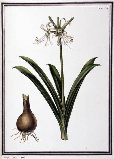Ilustração cientifica da espécie Pancratium illyricum, da publicação  Specimen Florae Americae Meridionalis.