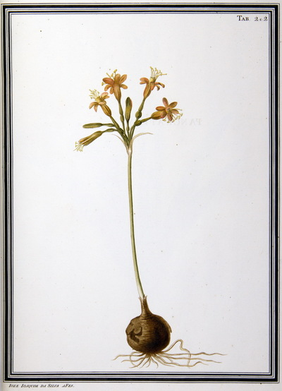 Ilustração cientifica da espécie Pancratium rubrum, da publicação  Specimen Florae Americae Meridionalis.