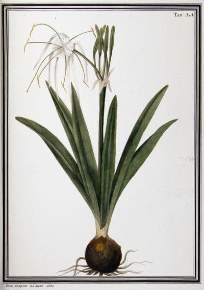Ilustração cientifica da espécie Pancratium caribaeum, da publicação  Specimen Florae Americae Meridionalis.