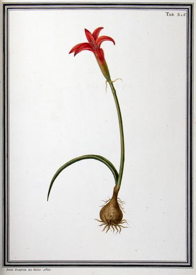 Ilustração cientifica da espécie Amaryllis flammea, da publicação  Specimen Florae Americae Meridionalis.