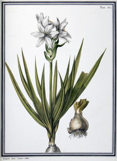 Ilustração cientifica da espécie Ornithogalum corymbosum, da publicação  Specimen Florae Americae Meridionalis.