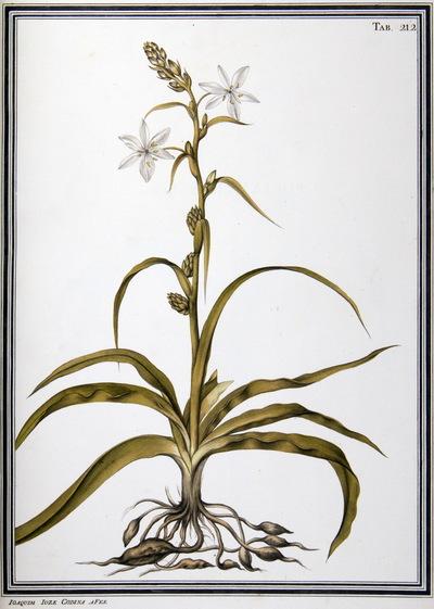 Ilustração cientifica da espécie Ornithogalum foliosum, da publicação  Specimen Florae Americae Meridionalis.