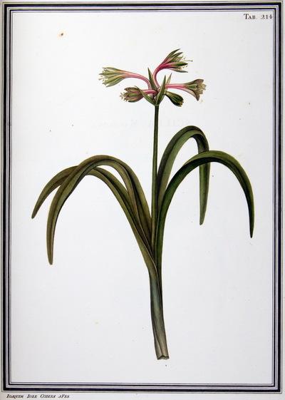 Ilustração cientifica da espécie Polianthes rubra, da publicação  Specimen Florae Americae Meridionalis.