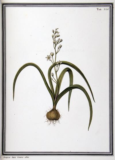 Ilustração cientifica da espécie Scilla maritima, da publicação  Specimen Florae Americae Meridionalis.