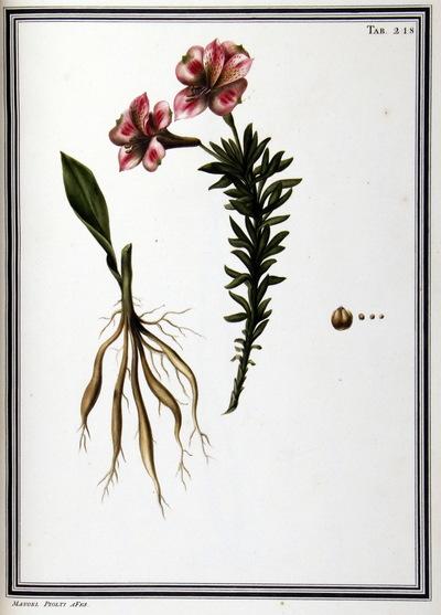 Ilustração cientifica da espécie Alstroemeria pelegrina, da publicação  Specimen Florae Americae Meridionalis.