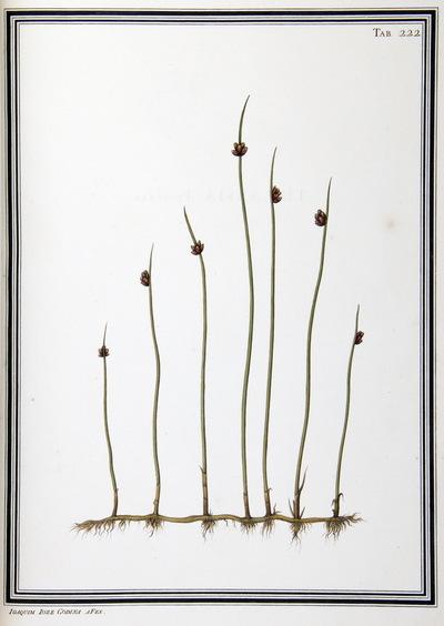 Ilustração cientifica da espécie Juncus sp. , da publicação  Specimen Florae Americae Meridionalis.