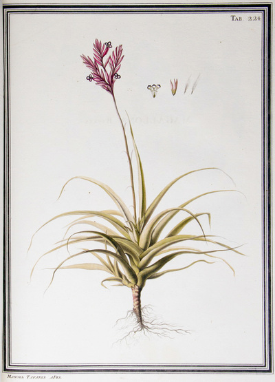 Ilustração cientifica da espécie Tillandsia purpurea, da publicação  Specimen Florae Americae Meridionalis.