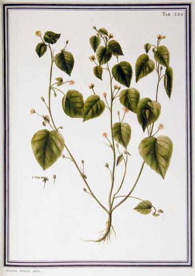 Ilustração cientifica da espécie Magallona repens, da publicação  Specimen Florae Americae Meridionalis.