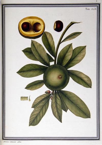 Ilustração cientifica da espécie Achras mammosa, da publicação  Specimen Florae Americae Meridionalis.