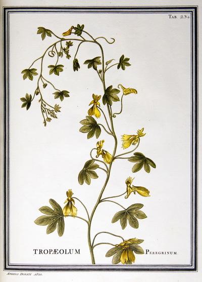 Ilustração cientifica da espécie Tropaeolum peregrinum, da publicação  Specimen Florae Americae Meridionalis.
