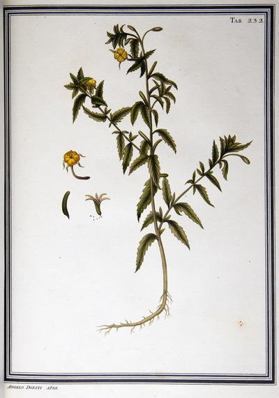Ilustração cientifica da espécie Oenothera prostrata, da publicação  Specimen Florae Americae Meridionalis.