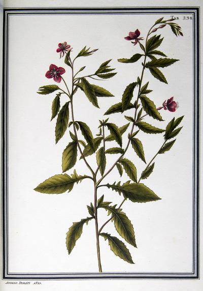 Ilustração cientifica da espécie Oenothera dentata, da publicação  Specimen Florae Americae Meridionalis.
