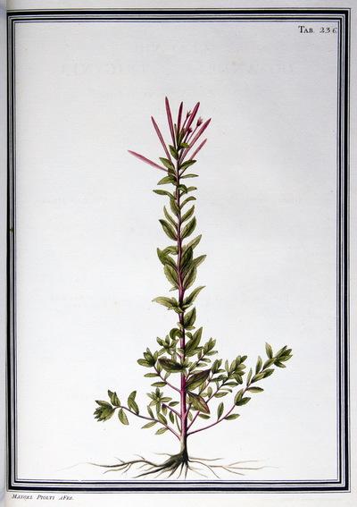 Ilustração cientifica da espécie Epilobium dentatum, da publicação  Specimen Florae Americae Meridionalis.