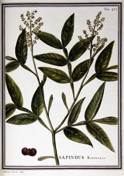 Ilustração cientifica da espécie Sapindus saponaria, da publicação  Specimen Florae Americae Meridionalis.