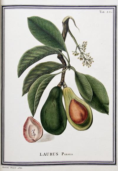 Ilustração cientifica da espécie Laurus persea, da publicação  Specimen Florae Americae Meridionalis.