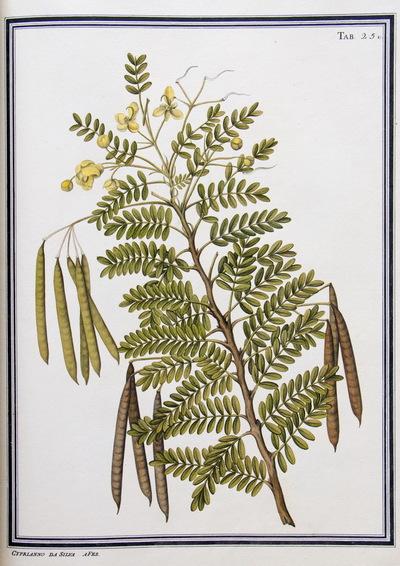 Ilustração cientifica da espécie Cassia tenuissima, da publicação  Specimen Florae Americae Meridionalis.