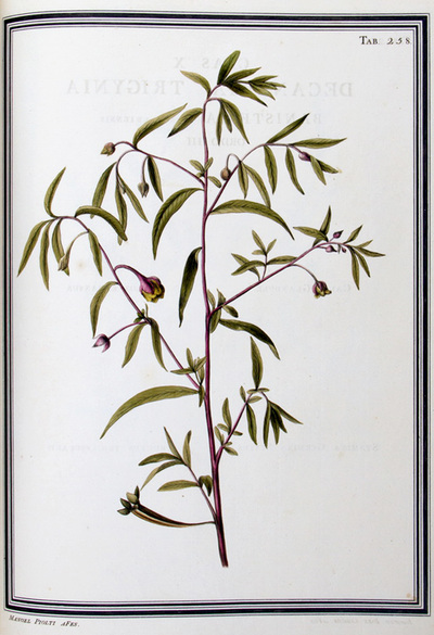 Ilustração cientifica da espécie Jussiaea octovaluis, da publicação  Specimen Florae Americae Meridionalis.
