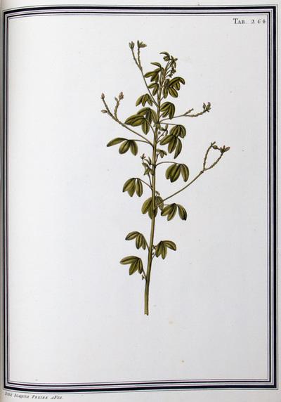 Ilustração cientifica da espécie Oxalis spicata, da publicação  Specimen Florae Americae Meridionalis.
