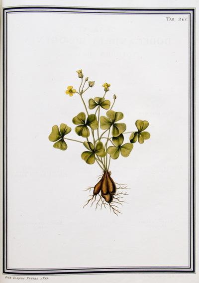 Ilustração cientifica da espécie Oxalis nitida, da publicação  Specimen Florae Americae Meridionalis.