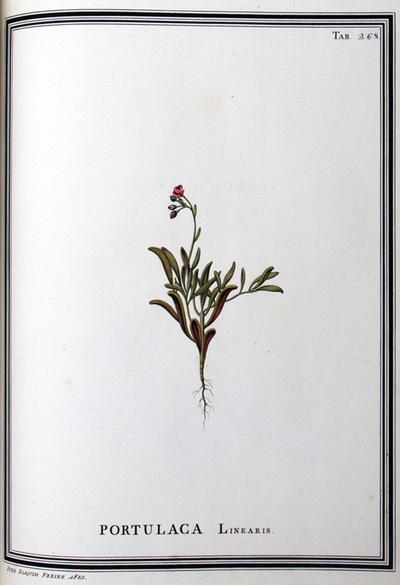 Ilustração cientifica da espécie Portucala linearis, da publicação  Specimen Florae Americae Meridionalis.