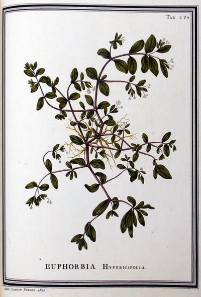 Ilustração cientifica da espécie Euphorbia Hypericifolia, da publicação  Specimen Florae Americae Meridionalis.