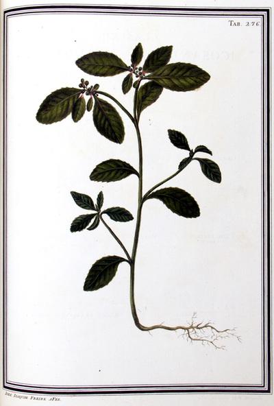 Ilustração cientifica da espécie Euphorbia striata, da publicação  Specimen Florae Americae Meridionalis.