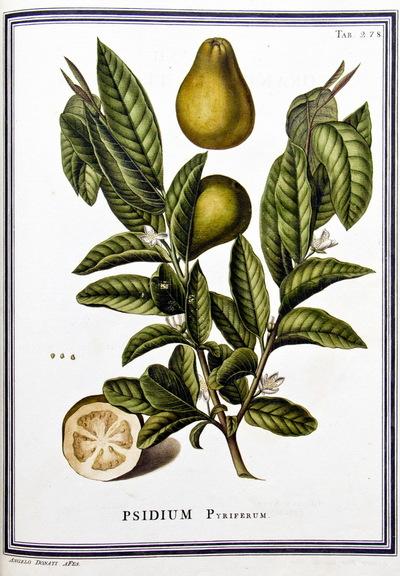Ilustração cientifica da espécie Psidium pyriferum, da publicação  Specimen Florae Americae Meridionalis.